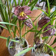 Fritillaria meleagris  ein liebliches Bl