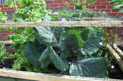Cabbage grown by the children