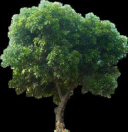 kisspng-mangifera-indica-fruit-tree-icon