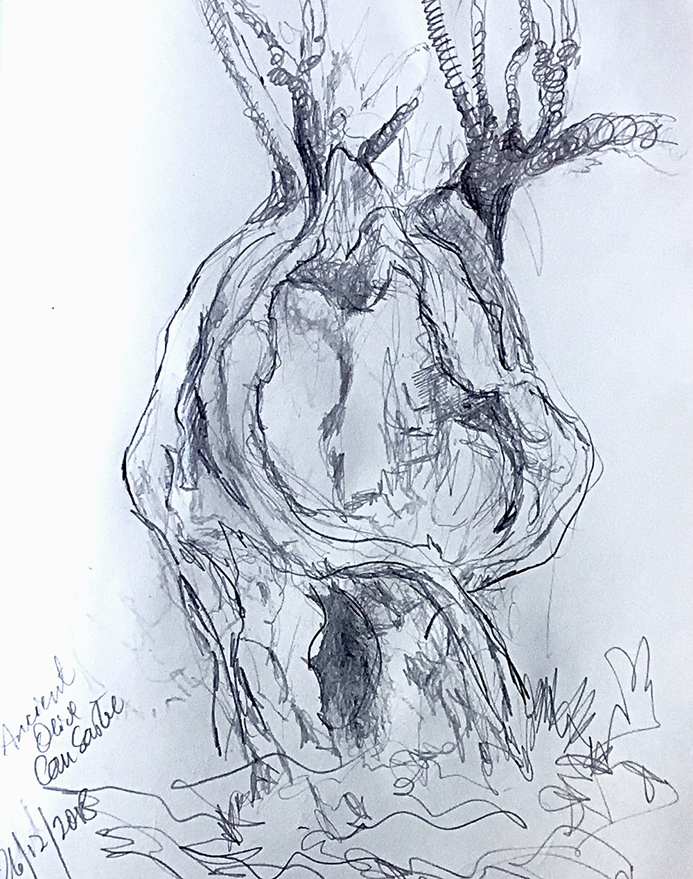 pencil drawing in black and white of ancient hollowed out olive tree with twisting branches.