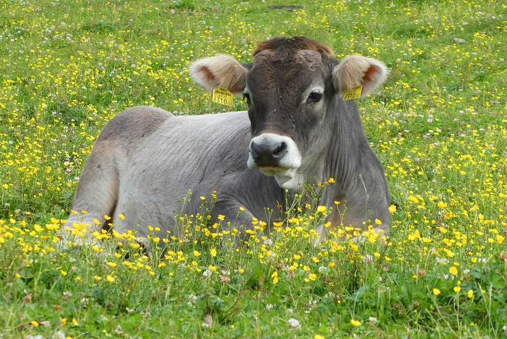 A big grey cow lying in a lush field of green grass where yellow buttercups abound. The cow's ears are beige and furry, its nose soft and wet looking.
