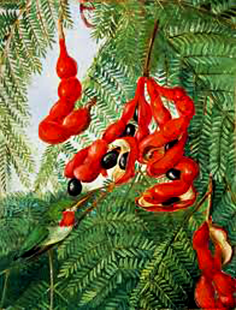 Painting of bright red tamarind pods that spiral around their shiny black seeds and hang from leafy branches festooned by ferny green foliage that indicate their structure perfectly clearly.