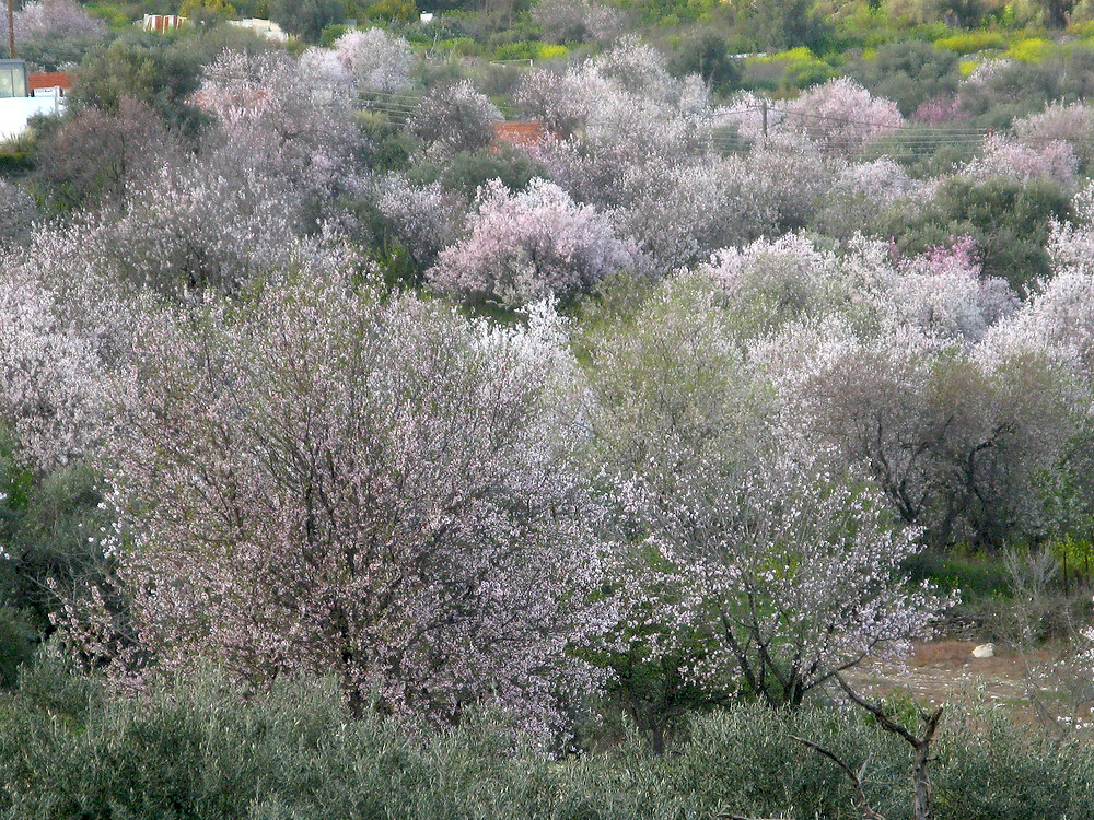 Looking over an orchard of almond trees in full bloom. Pale pink, white blossom. Yellow oxalis in view in the field beyond.