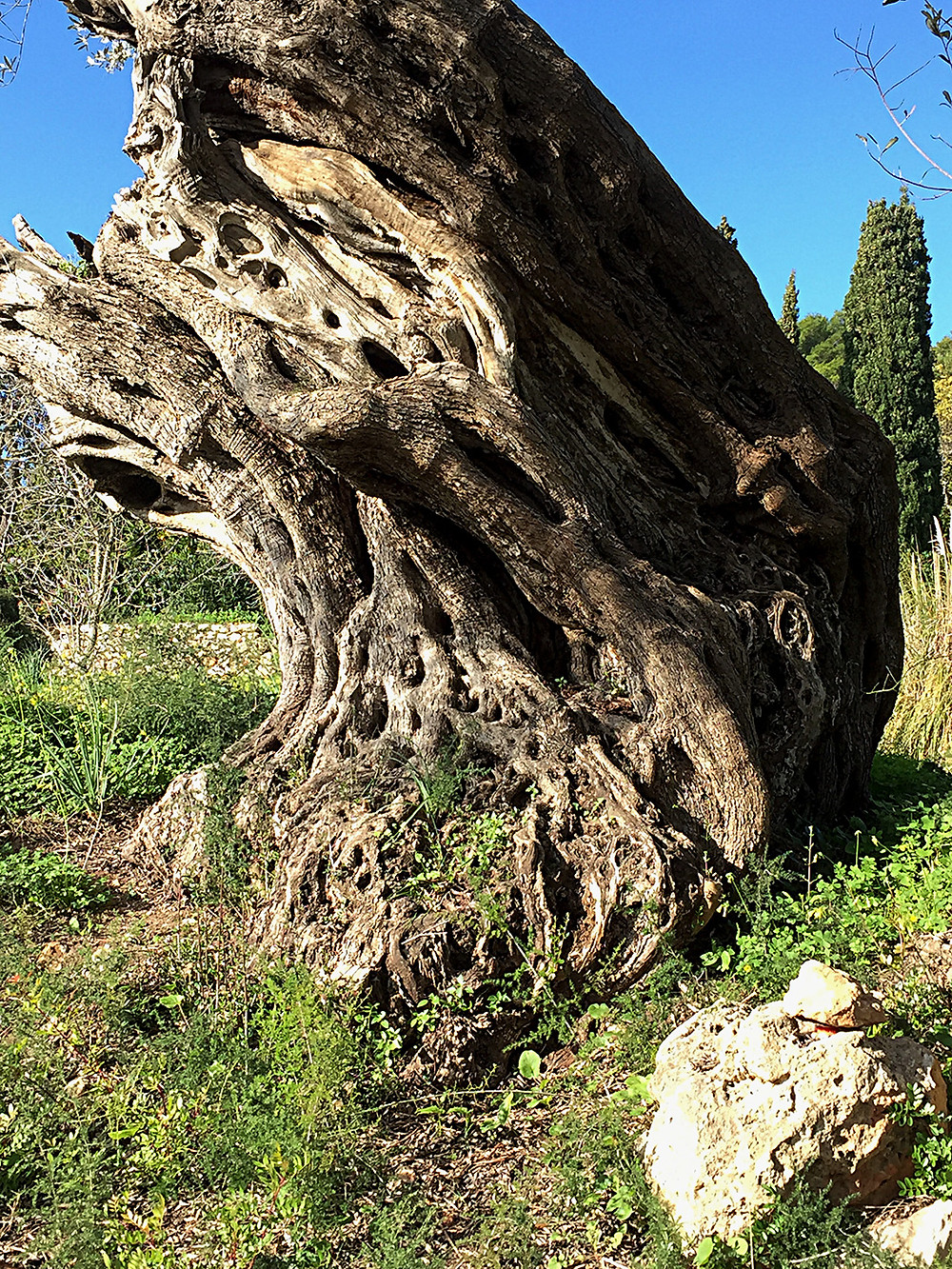 Photograph of ancient olive tree, leaning heavily to one side showing broken and interwoven branches and gnarled roots stretching into the ground. #ancientolivetree #oldtree #olivetree #gnarled #knotted