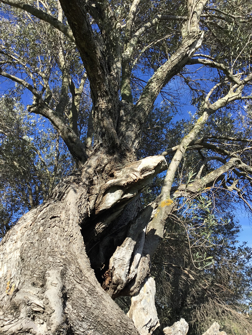 view of ancient olive tree, viewed from a low angle, showing rough texture of bark and dead wood coming out of a hollow in the old tree. Strong new green growth can be seen on the branches that still emerge from the trunk, and that reach into a deep blue sky.