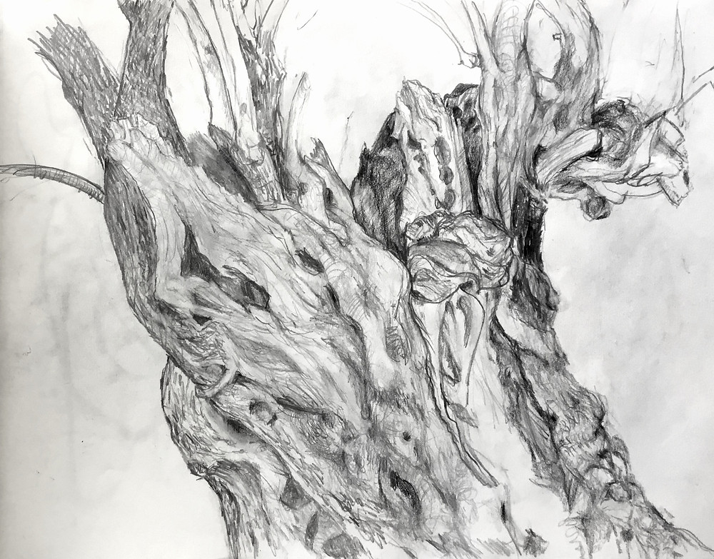 Pencil drawing of ancient olive tree accentuating the many textures. The artist has used different pencils to depict all the different textures. Hard pencils for fine lines, softer pencils for softer textures and very soft pencils for very dark areas. The drawing is a fine example of careful attention to detail - the tree's many twists and turns, lumps and amputations are faithfully depicted.