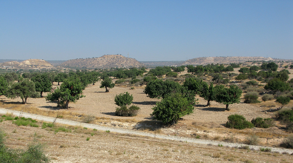 View across flat, dry, sparse land with intermittently placed carob trees spreading over the land. Dark green foliage, pale ochre ground. Barren hills rise up in the distance. Blue sky. A small road extends across the forground.