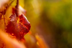 Vignes d'Octobre