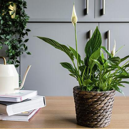 grow-peace-lilies-1902767-hero-01-01-9cd