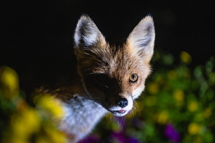 Příběh lišky z Pelíšků