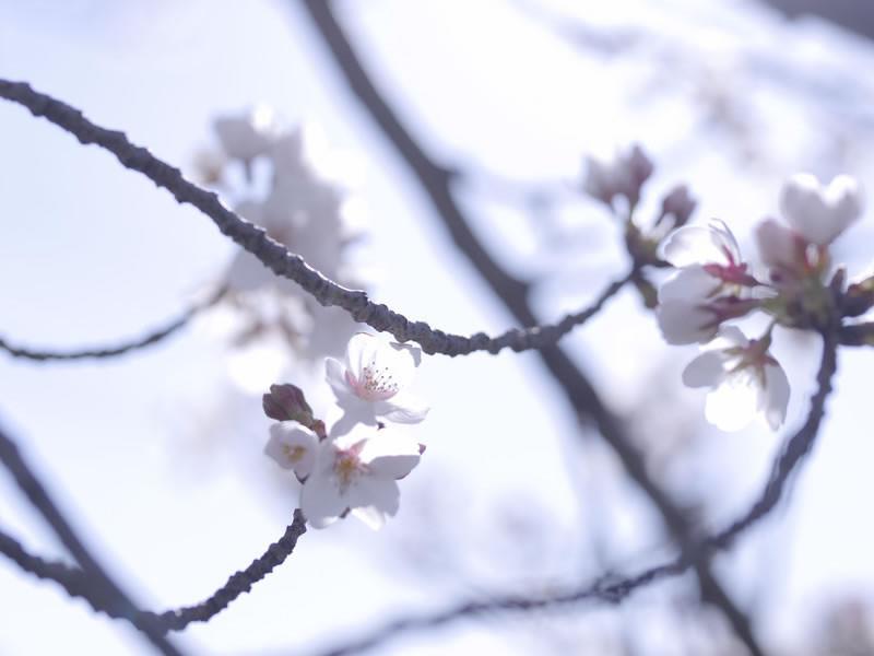 桜の枝に可憐に咲く桜の花々