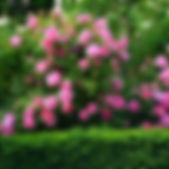 shrubs-and-roses-300x200.jpg