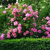 shrubs-and-roses-300x200.jpg