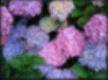 HydrangeaPennyMac_edited.jpg