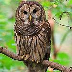 barred-owl1-250x300.jpg