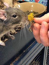 Degu eating herbmix.jpg