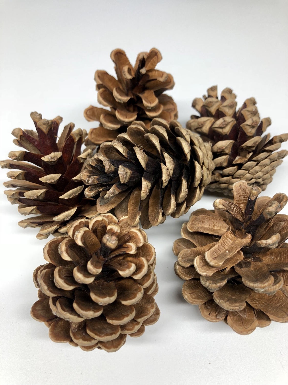 Natural Pine Cones (x8)