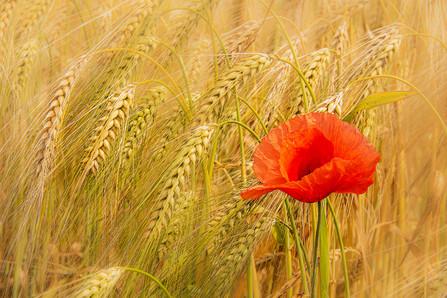 Poppy in corn field