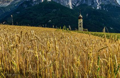 Corn field in Sudtirol