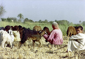 sandwich-in-field-with-goats-sh-lst30983