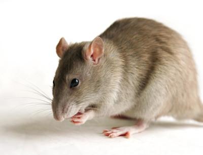 Rodent problems Brisbane Pest Control
