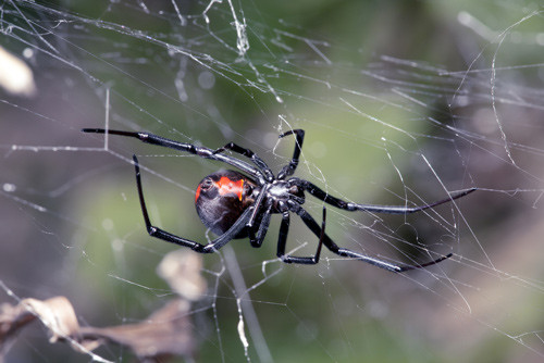 redback spiders - pest control