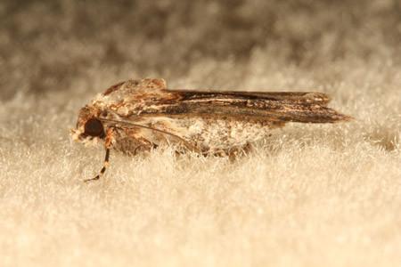 Carpet Case Moth - pest control