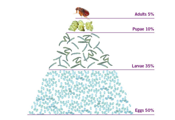 Life cycle of a flea - Results Termite Treatments and Pest Management Services