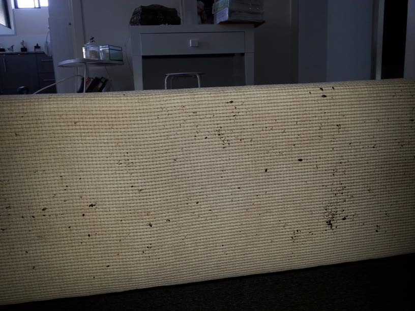 Bed bugs found on the back of a couch
