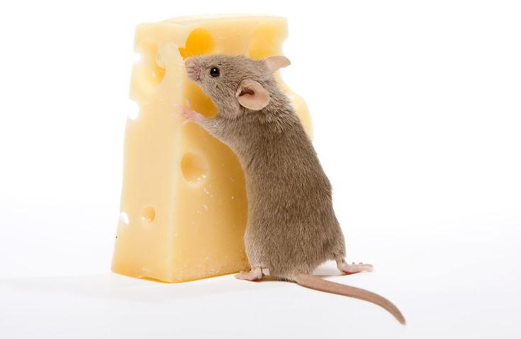 Rodent Pest Control Brisbane