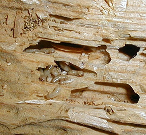 Drywood termites and Frass