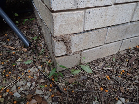 Considering a Bunnings Termite Treatment?