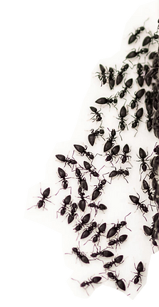 Black ant pest control Manly West