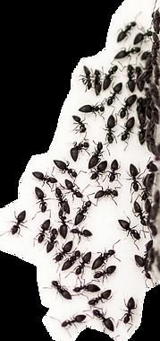 Black Ant Pest Control Brisbane Northside