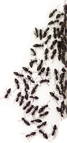 Black ant pest control Beenleigh