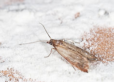 Carpet Case moth problems