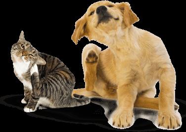 Flea treatment - move out carpet clean