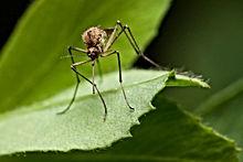 Mosquito Pest Control Brisbane