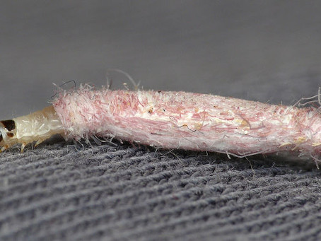 Do You Have Carpet Case Moth Eating Away At Your Carpets?