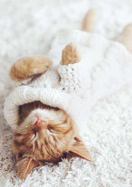 cat on soft carpet - steam carpet cleaning