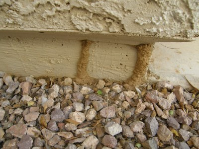 Termite tubing in a brick house