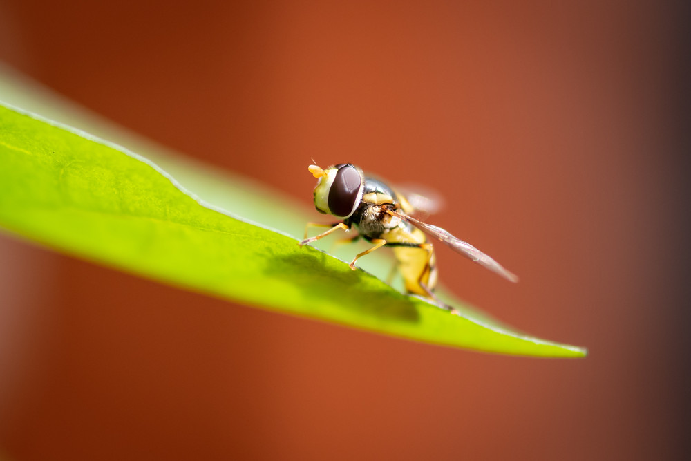 Hover Fly that looks like a wasp