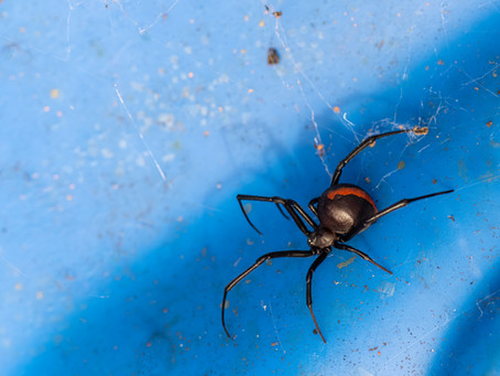 Keep An Eye Out For The Redback Spider