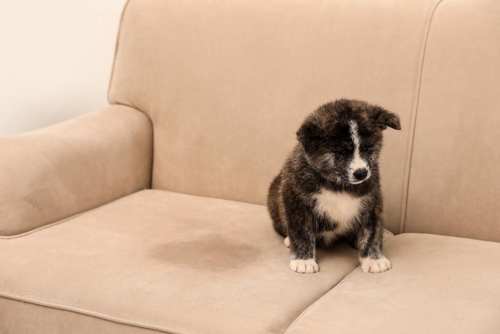 Pest urine on upholstery