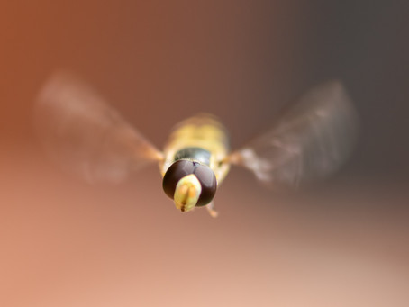 Hover Fly - A Fly Disguised As A Bee