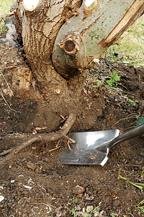remove old tree stumps to help eliminate the chance of a termite attack