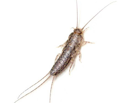 Are Silverfish a Problem in your Home?