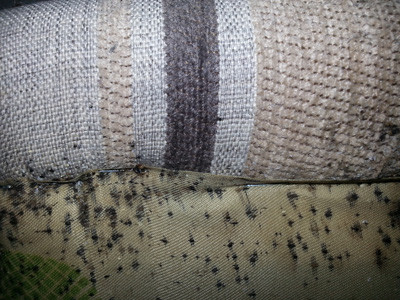 Bed bugs in couch base