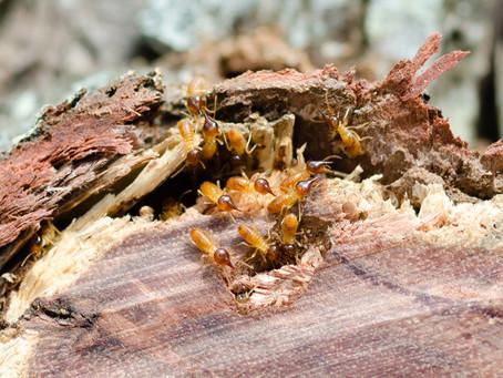 Subterranean Termites – The Unseen Threat