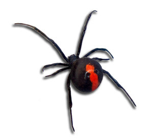 Red back spider results pest control
